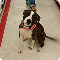 Adopt A Pet :: Peppermint Patty - Chatham, VA