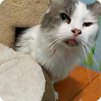 Domestic Mediumhair Cat for adoption in Columbus, Ohio - Andy