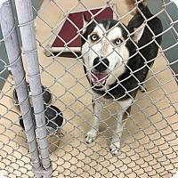 Adopt A Pet :: Shiloh - Clearwater, FL