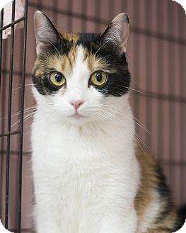 Domestic Shorthair Cat for adoption in Houston, Texas - Tilda