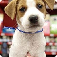 Adopt A Pet :: Matty - Washington, DC