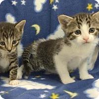 Adopt A Pet :: FLUFFY SWEET KITTIES - Kingwood, TX