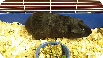 Guinea Pig for adoption in South Bend, Indiana - Burrito
