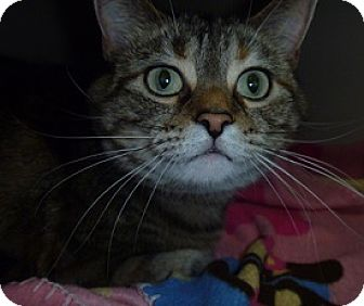 Domestic Shorthair Cat for adoption in Hamburg, New York - Luna Mae
