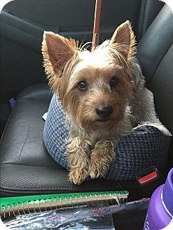 Yorkie, Yorkshire Terrier/Silky Terrier Mix Dog for adoption in Manassas, Virginia - Rufus