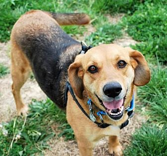 Bloodhound/Shepherd (Unknown Type) Mix Dog for adoption in White Bluff, Tennessee - Buttercup