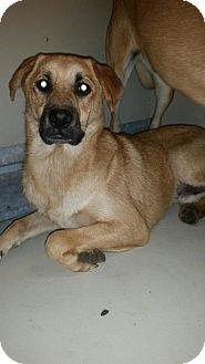 Boxer/Labrador Retriever Mix Dog for adoption in Westminster, California - Nicholas