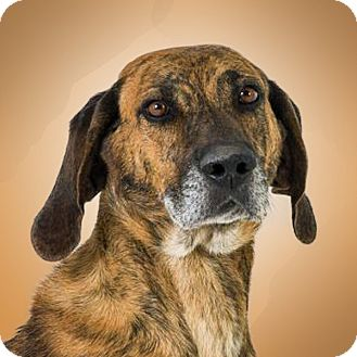 Plott Hound Mix Dog for adoption in Prescott, Arizona - Barney