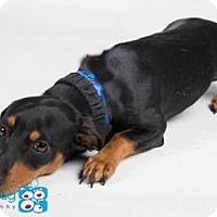 Adopt A Pet :: Adam - Irving, TX
