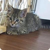 Domestic Shorthair Kitten for adoption in House Springs, Missouri - Marlin