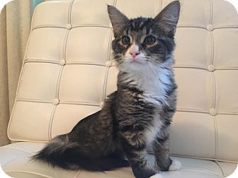 Domestic Mediumhair Kitten for adoption in Chicago, Illinois - Jack Burton