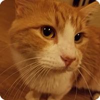 Domestic Longhair Cat for adoption in Huntsville, Alabama - Angus