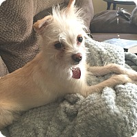 Terrier (Unknown Type, Small)/Chihuahua Mix Dog for adoption in Vacaville, California - Cricket