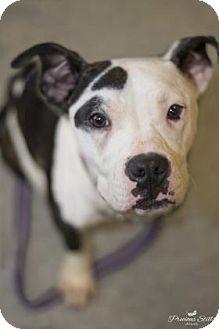 American Pit Bull Terrier Mix Dog for adoption in Niagara Falls, New York - Nino