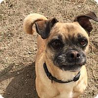 Adopt A Pet :: Oreo, A pugger, and lovebug. - Corona, CA
