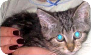 Domestic Mediumhair Kitten for adoption in Jacksonville, Florida - Sheldon