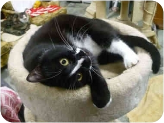 Domestic Shorthair Cat for adoption in Pendleton, Oregon - Smiley