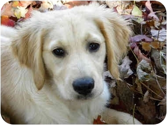 Golden Retriever/Labrador Retriever Mix Puppy for adoption in Hamburg, Pennsylvania - Julep