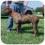 Photo 2 - Great Dane/Labrador Retriever Mix Dog for adoption in DuQuoin, Illinois - Dino
