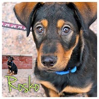 Doberman Pinscher/Labrador Retriever Mix Puppy for adoption in Garden City, Michigan - Rosko