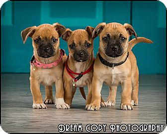 Pug Mix Puppy for adoption in Owensboro, Kentucky - Puppies!!