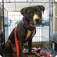 Adopt A Pet :: VIOLET - Van Nuys, CA
