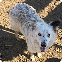 Adopt A Pet :: SNOW - Phelan, CA