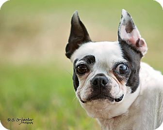 boston terrier texas weatherford tx boston terrier meet thelma a dog for 1891