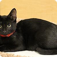 Domestic Shorthair Cat for adoption in Flower Mound, Texas - Suzie