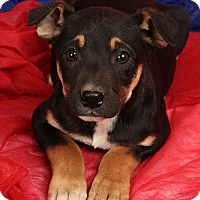 Adopt A Pet :: Blanche BoxHound - St. Louis, MO