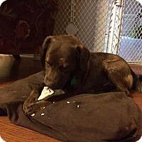 Adopt A Pet :: Holly - EDEN PRAIRIE, MN