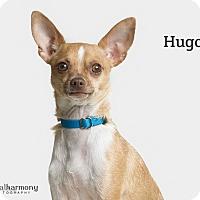 Adopt A Pet :: Hugo - Chandler, AZ
