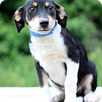 Adopt A Pet :: Pudge - Waldorf, MD