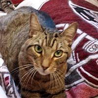 Domestic Shorthair Cat for adoption in Tampa, Florida - Caesar