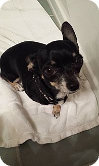 Chihuahua Dog for adoption in Chicago, Illinois - Lena