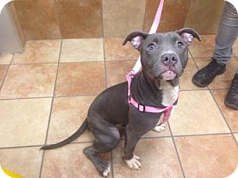 Pit Bull Terrier/Terrier (Unknown Type, Medium) Mix Dog for adoption in Philadelphia, Pennsylvania - Shadow (foster care)