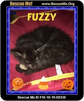 Domestic Mediumhair Kitten for adoption in Highland, Michigan - Fuzzy