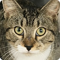 Domestic Shorthair Cat for adoption in Clayville, Rhode Island - Charlie Brown