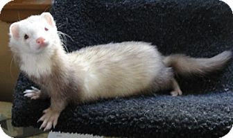 Ferret for adoption in Hartford, Connecticut - Sid