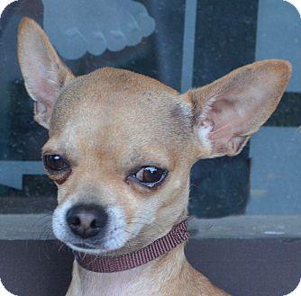 Chihuahua Dog for adoption in Bridgeton, Missouri - Gabe-Adoption pending