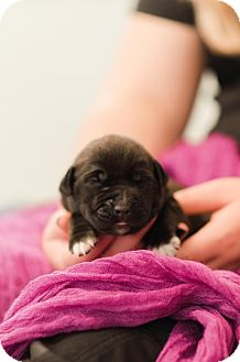 Labrador Retriever/Hound (Unknown Type) Mix Puppy for adoption in Seneca, South Carolina - Cinderella $250