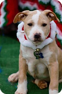 Pit Bull Terrier Mix Puppy for adoption in Manchester, Connecticut - Edgar in CT