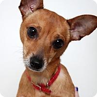 Chihuahua Mix Dog for adoption in Edina, Minnesota - Abby  D161951