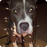 Adopt A Pet :: Blue - Jefferson, GA