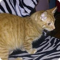 Adopt A Pet :: Crookshanks - Orlando, FL