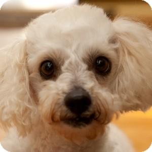 Bichon Frise Mix Dog for adoption in La Costa, California - Willow