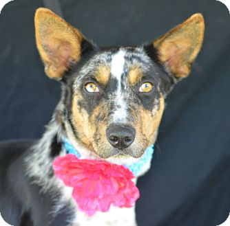 Catahoula Leopard Dog Mix Dog for adoption in Plano, Texas - Sassy
