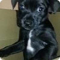 Adopt A Pet :: Shadow - Pembroke pInes, FL