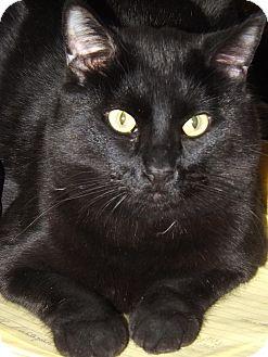 Domestic Shorthair Cat for adoption in Mesa, Arizona - Magnum