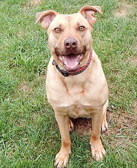 Shepherd (Unknown Type)/Labrador Retriever Mix Dog for adoption in Lapeer, Michigan - Sky